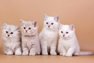 Выставка-продажа элитных котят