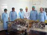 Оперировать тигров и леопардов будут уссурийские студенты