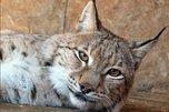 Рысь Ариша в зоопарке под Уссурийском осталась без опекуна