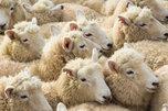 Вспышка оспы овец зафиксирована в одном из сел УГО