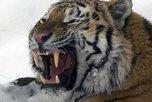 За тремя особыми тиграми пристально следят в Приморье