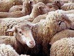 Режим ЧС снят в селах Богатырка и Новоникольск, где ранее были зафиксирована вспышка оспы овец