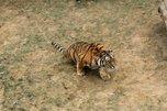 Полосатое расследование: тигра, погибшего в схватке с тигрицей, будут изучать в Уссурийске