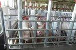 «Русагро» купила свинобойню в Уссурийске