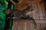 Два ручных котенка леопарда поселились в зоопарке «Чудесный»