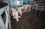 Производство мяса увеличилось в Приморье