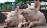 Карантин по классической чуме свиней введен в охотничьем хозяйстве «Раковское»