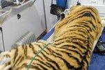 Конфликтного тигра отловили в Уссурийском районе