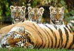 День тигра широко отметят в Уссурийске