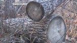 В Уссурийском округе обнаружили незаконные рубки леса