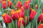 В Уссурийске скоро зацветут 25 тысяч тюльпанов