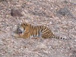 Встреча с тигриной семьей закончилась неожиданностью для приморцев