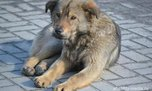 В Уссурийске за последний месяц отловлено 74 собаки