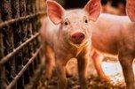 В Приморье впервые зафиксирована африканская чума свиней