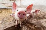 Карантин по африканской чуме свиней снимают в Приморье