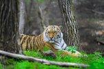 Встреча с тигром в лесу закончилась госпитализацией для охотника из Приморья