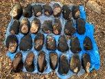 ФСБ пресекла контрабанду лап тигра, медведя и бивней мамонта на 2 млн рублей из Приморья