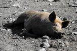 Под Уссурийском нашли массовое захоронение свиней