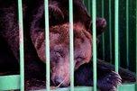 Спасенных от наводнения медведей в Уссурийске хотят раздать по частным зоопаркам