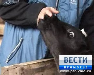 Фермеры из села Кугуки Уссурийского городского округа развивают молочное животноводство