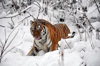 Под Уссурийском появился конфликтный тигр
