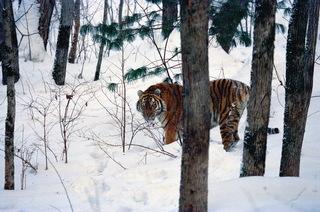 Амурский тигр в преддверии 8 марта перешел из Приморья в Китай