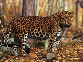 Леопардов и тигров из зоопарков будут выпускать на волю в Приморье