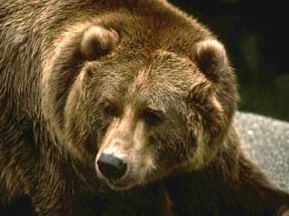 100-килограммового медведя застрелили в городской черте Уссурийска