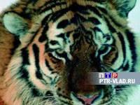 Раненый тигр был найден утром в понедельник на трассе Раздольное-Хасан