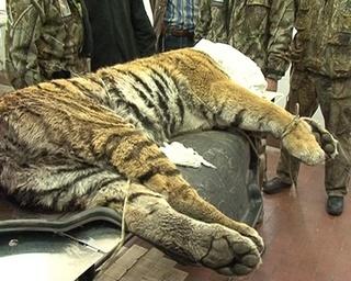 В Хасанском районе нашли сбитую автомобилем тигрицу