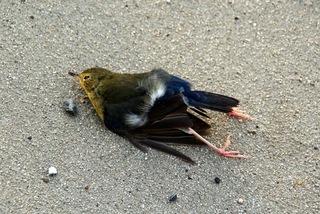 Птицы массово бьются о