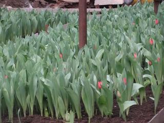Более 10 тысяч тюльпанов и фрезий вырастили цветоводы Уссурийска к 8 марта