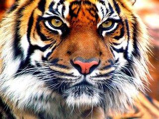 Молодой тигр утащил в лес дворовую собаку в Уссурийском районе