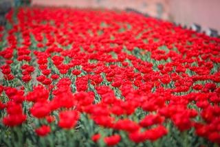 Около 250 тысяч цветов распустится на клумбах Уссурийска