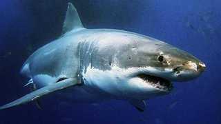 Таинственный монстр, растерзавший 3-метровую акулу-людоеда, озадачил ученых
