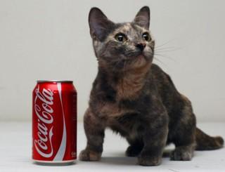 Самая низкорослая кошка в мире