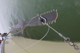 На крючок ученых случайно попалась огромная рыба-пила