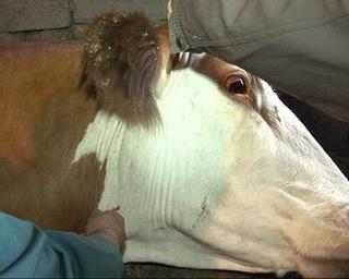 Началась осенняя диспансеризация домашнего скота