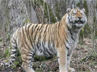 Двое жителей Уссурийска предстанут перед судом за сбыт шкуры Амурского тигра