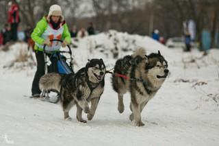Гонки на собачьих упряжках прошли в Уссурийске