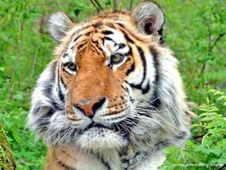 На Дальнем Востоке учтено около 540 особей уссурийского тигра