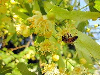 Липовый вопрос в Приморье решат до конца лета