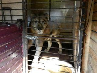 Спасенный из затопленного зоопарка в Уссурийске лев Грей съедает в день по 10 кг мяса