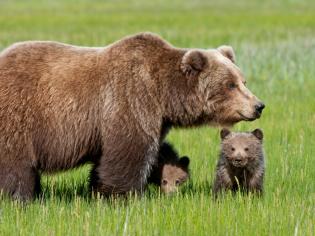 Четыре голодных медведя забрели в Уссурийск