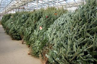 В Приморье к Новому году заготовят около 10 тысяч елок
