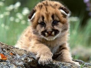 В Уссурийский зоопарк может переехать необычная кошка – пума