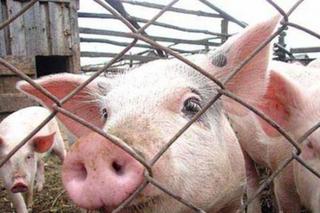 Житель с. Раковка по кредиту расплатился свиньями