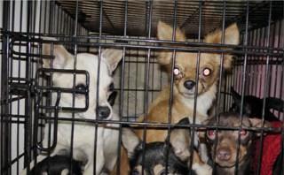 Полицейскими возбуждено уголовное дело в отношении похитителя собаки в Уссурийске