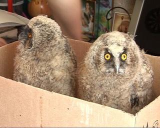 Птенцы ушастой совы живут в коробке