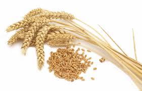 На складе уссурийской компании обнаружены 560 тонн зараженной пшеницы